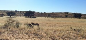 Namibia Family Travel Cheetah in Grass fields
